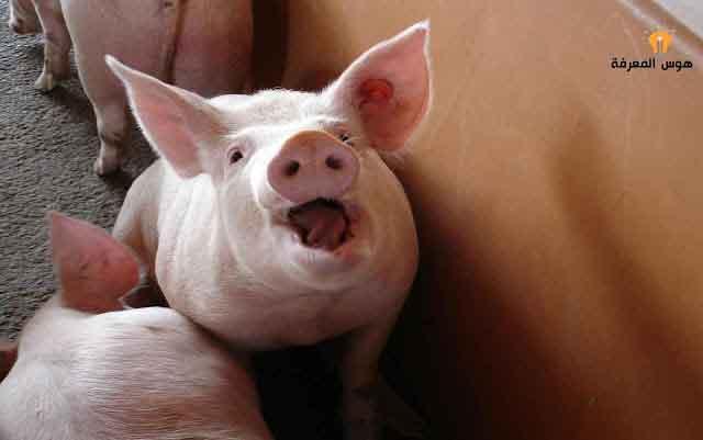لحم الخنزير,اكل لحم الخنزير,الخنزير,شوي لحم الخنزير,سعر لحم الخنزير,شكل لحم الخنزير,لون لحم الخنزير,لحم الخنزير حلال,أضرار لحم الخنزير,تحريم لحم الخنزير,اضرار لحم الخنزير,حرم الله لحم الخنزير,سبب حرمة لحم الخنزير,ليش لحم الخنزير محرم,سبب تحريم لحم الخنزير,لماذا لحم الخنزير محرم,لحم الخنزير في المسيحية,حرم الله تعالى لحم الخنزير,لماذا تم تحريم لحم الخنزير,ذاكر نايك يكره لحم الخنزير,لحم,لحم الخنزير محرم في المسيحية,سبب تحريم لحم الخنزير ذاكر نايك,الفرق بين لحم الخنزير واللحم البقري،لماذا حرم لحم الخنزير علميا،لماذا حرم لحم الخنزير على المسلمين،لماذا حرم الله لحم الخنزير ولماذا خلقه،لحم الخنزير و الغيرة،سبب تحريم لحم الخنزير،لحم الخنزير في المسيحية،تحريم لحم الخنزير في القرآن