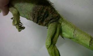 Jenis Penyakit Iguana dan Cara Mengatasinya