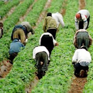 farmers concerned about harvest labour: improve working conditions, hire locally