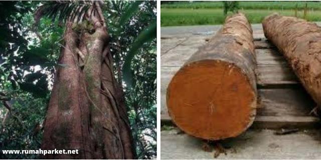asal usul kayu merbau