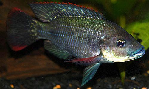 7 Jenis Makanan Ikan Mujair dari Bahan-Bahan Alami