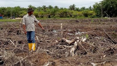Hutan Mangrove Di Agam Beralihfungsi Jadi Tambak Udang