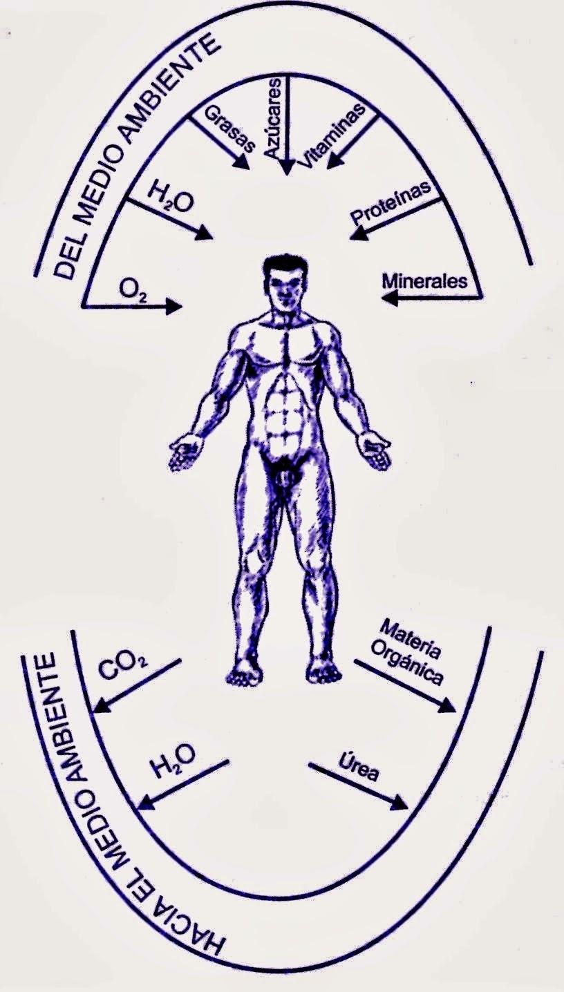 Etapas o fases del metabolismo
