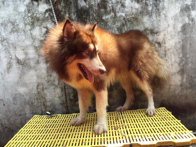 Đực phối giống chó Alaska Phi Tiêu