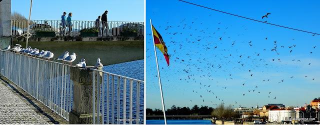 Coimbra - aves marinhas na Ponte de Santa Clara, sobre o Rio Mondego