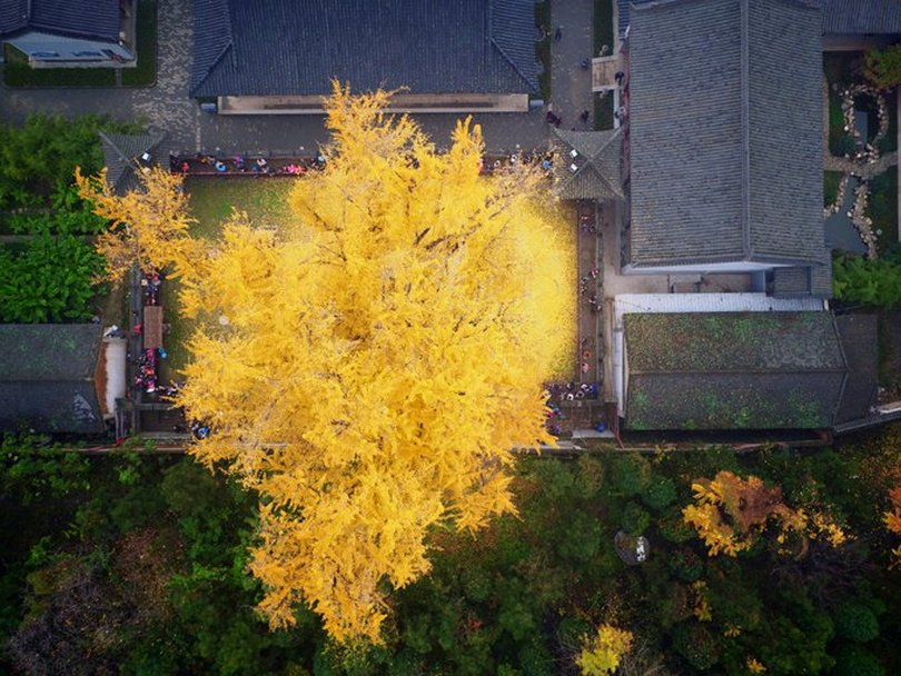 ginkgo in chinese
