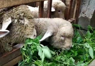 pakan rumput dan daun domba merino