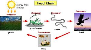 Clear d Concepts: Food chain