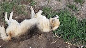 Απίστευτης έκτασης μαζική δηλητηρίαση 28 σκύλων