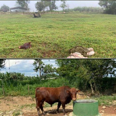 Roubo em Sete Barras - Mataram um touro e levaram a carne