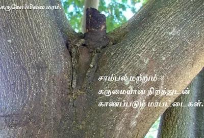 Curry Leaf tree stem