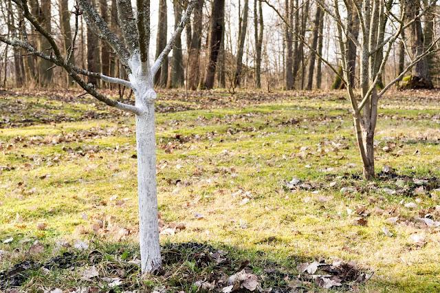 Viljapuude valgendamine ehk lupjamine