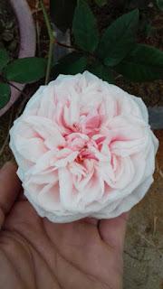 hoa hồng vân khôi