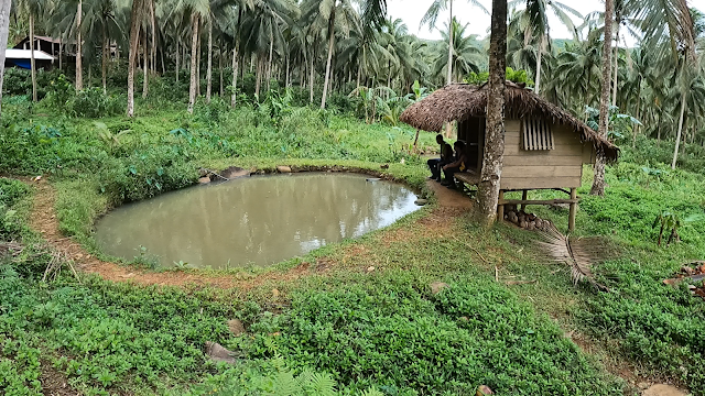carabao swimming pool beside a bahay kubo