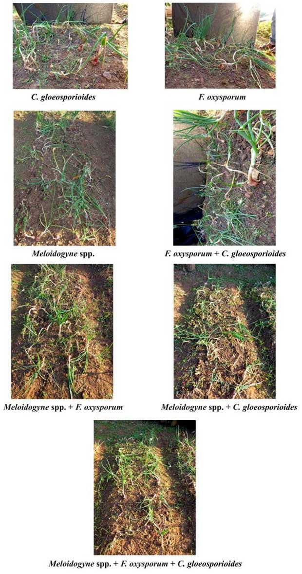 antraknos melintir pada bawang merah