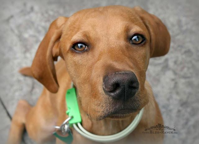 Vizsla Mix Dog, Bliss-Ranch.com