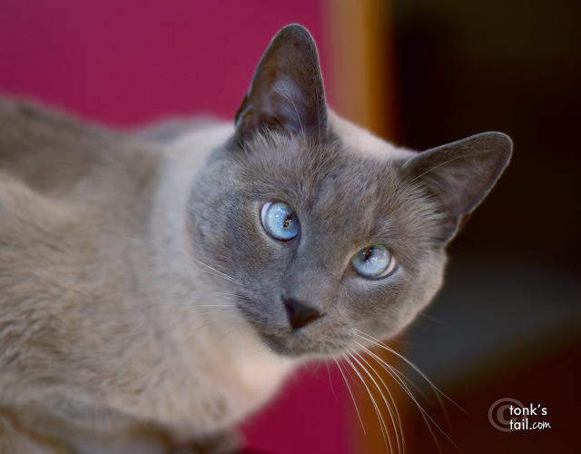 Handsome Blue Point Siamese boy is still lovable, though deaf.