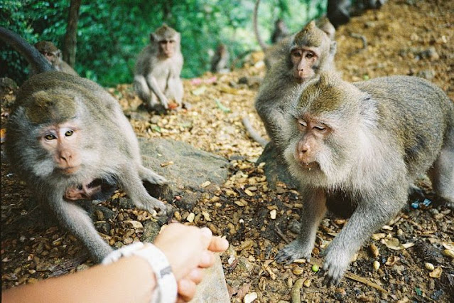 Lombok Pusuk Forest With Hundreds Of Monkeys And Beautiful Scenery
