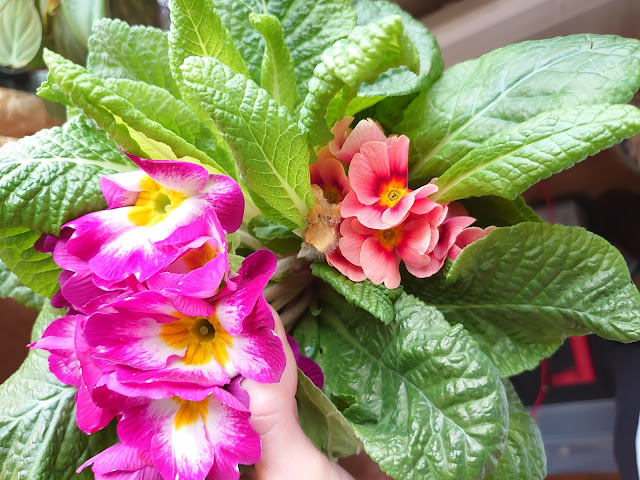 Primula med to farger