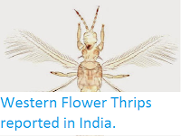 http://sciencythoughts.blogspot.co.uk/2015/05/western-flower-thrips-reported-in-india.html