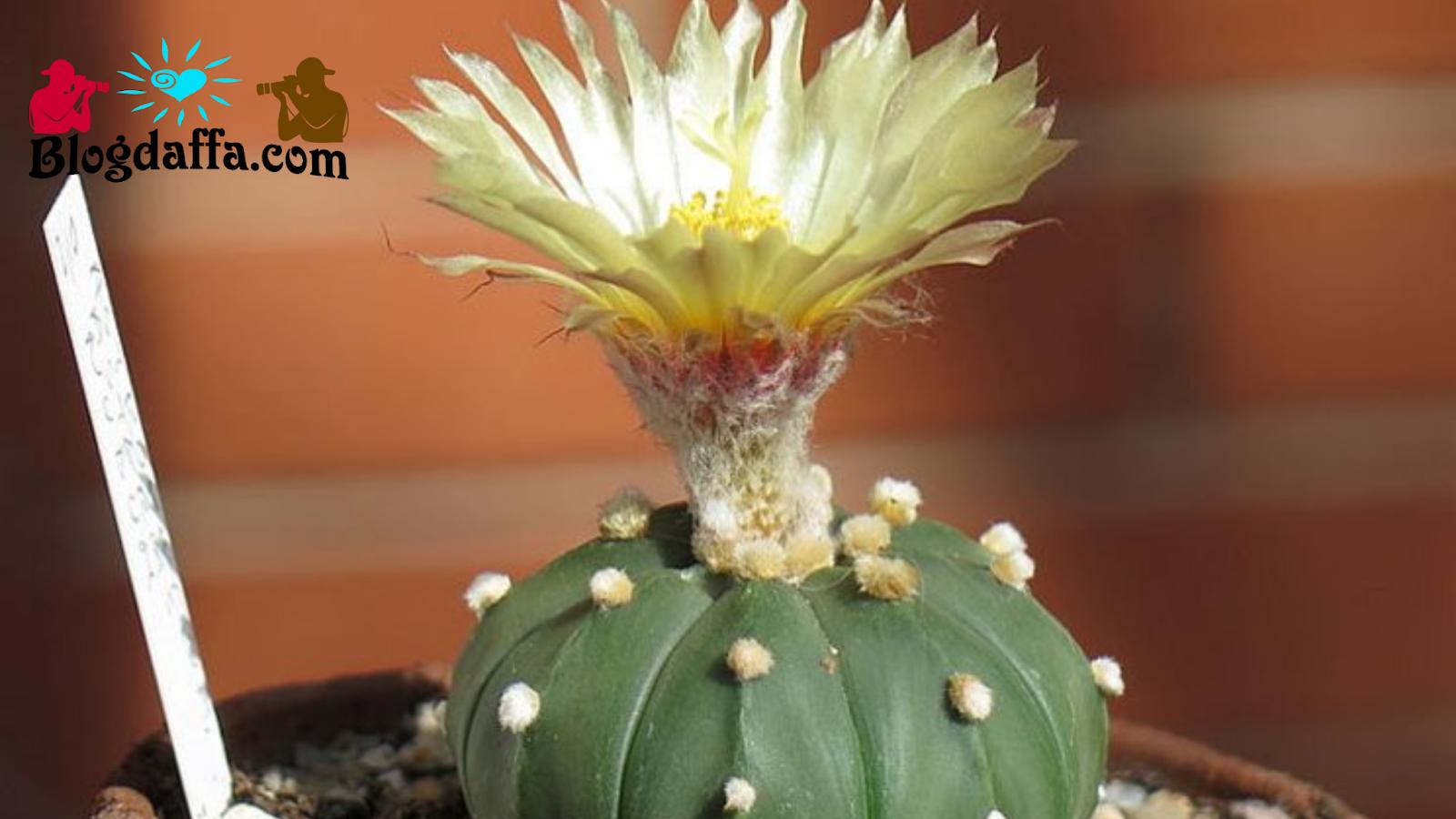 Kaktus Mini Astrophytum