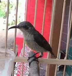 Kolibri Ninja Betina Dewasa