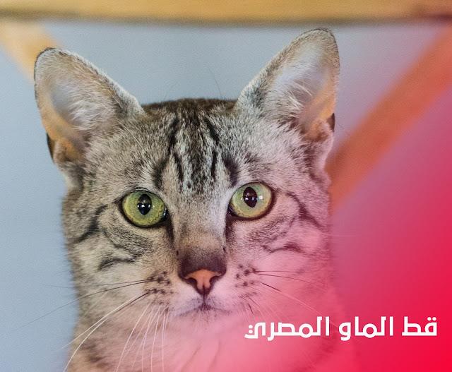 قط الماو الفرعوني - قطط بلدي - قط الفراعة - الحيوانات في مصر القديمة