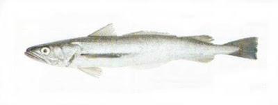 Merluza austral Merluccius hubbsi