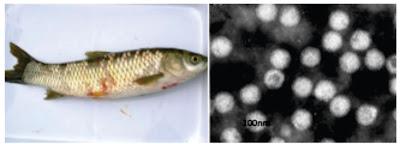 Penyakit Virus Pada ikan : Grass Carp Reovirus (GCRV)