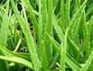 adalah salah satu tanaman yg mempunyai banyak manfaat Cara Alami Yang Ampuh Untuk Mengatasi Masalah Ketombe Dengan Lidah Buaya