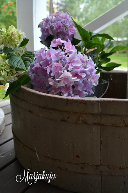 puusoikkossa hortensia
