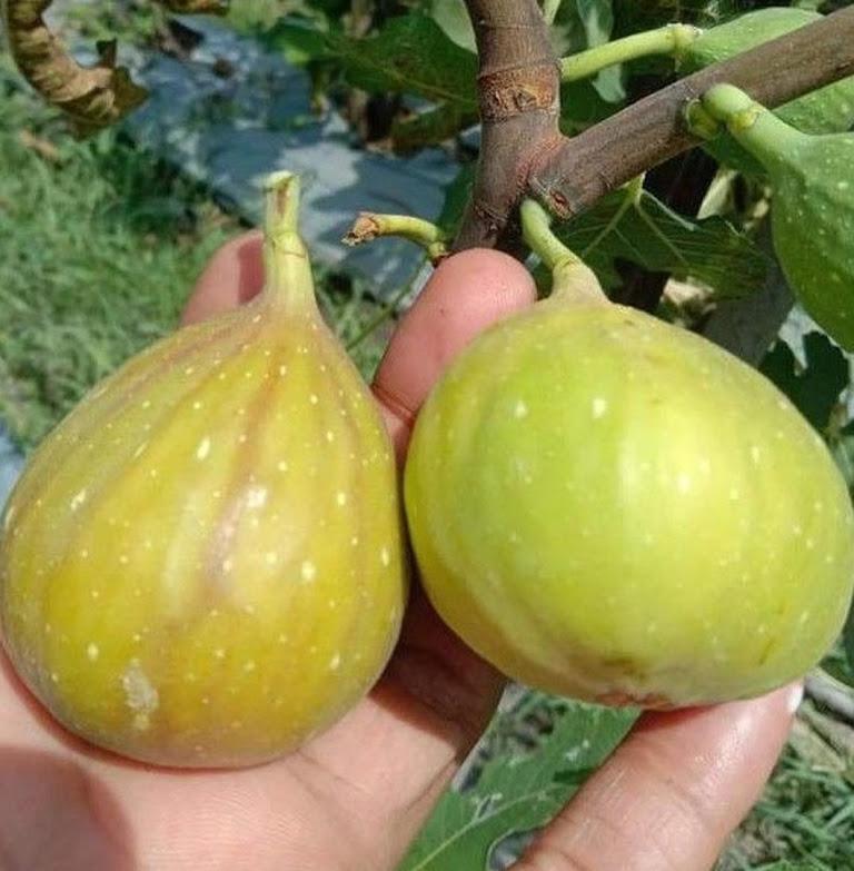 Bibit buah tin Jumbo LDA fresh cangkok bibit pohon tin Longue D Aout Kepulauan Riau