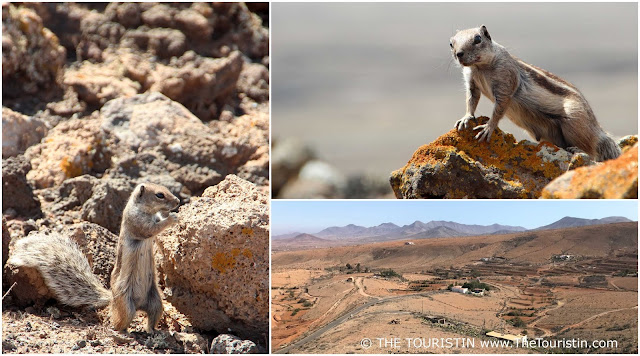 Barbary Ground Squirrels climbing over rock formations. Arid landscape.