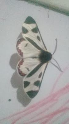 mariposas argentinas Dysschema centenaria