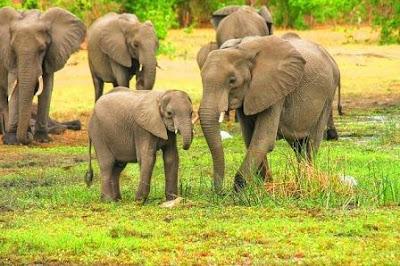 Elephant images of Manas national park, manas national park animals
