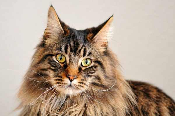 gato-maine-coon-comportamiento-personalidad