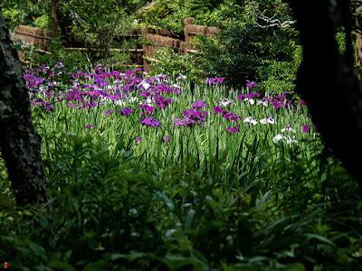 Ayame (Iris sanguinea) flowers: Tokei-ji