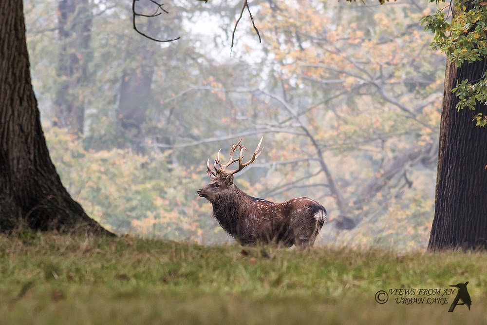 Sika Stag: Rutting Red Deer Photography