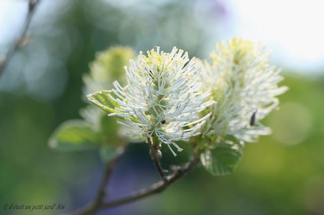 arbuste floraison prinanière blanche forthergilla