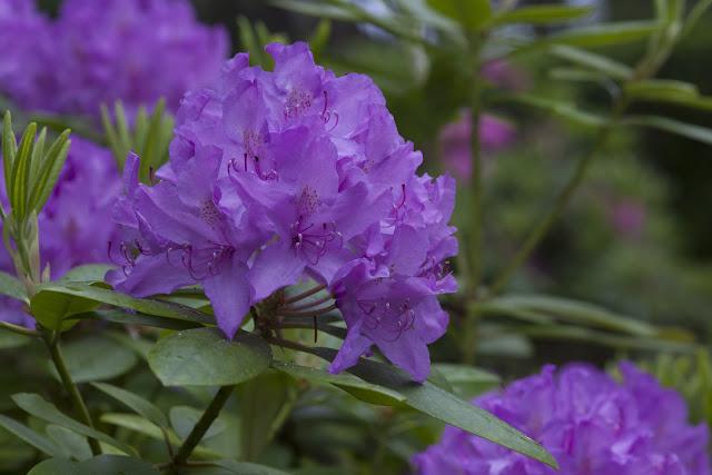 Risholmen - Rododendron