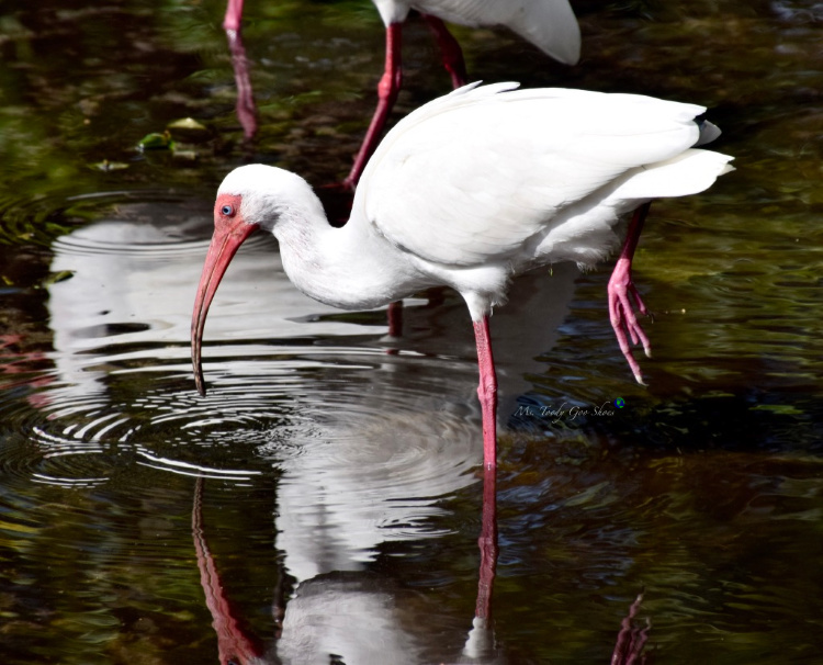 Flamingo Gardens in Florida has a lot more than just flamingos! | Ms. Toody Goo Shoes #flamingos #whiteibis