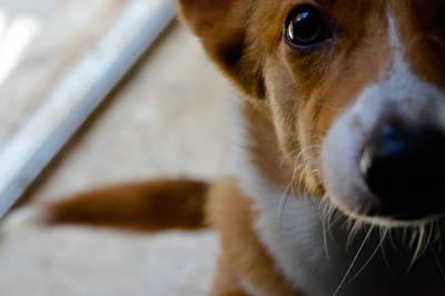 A close up photo of half of a Corgi's face