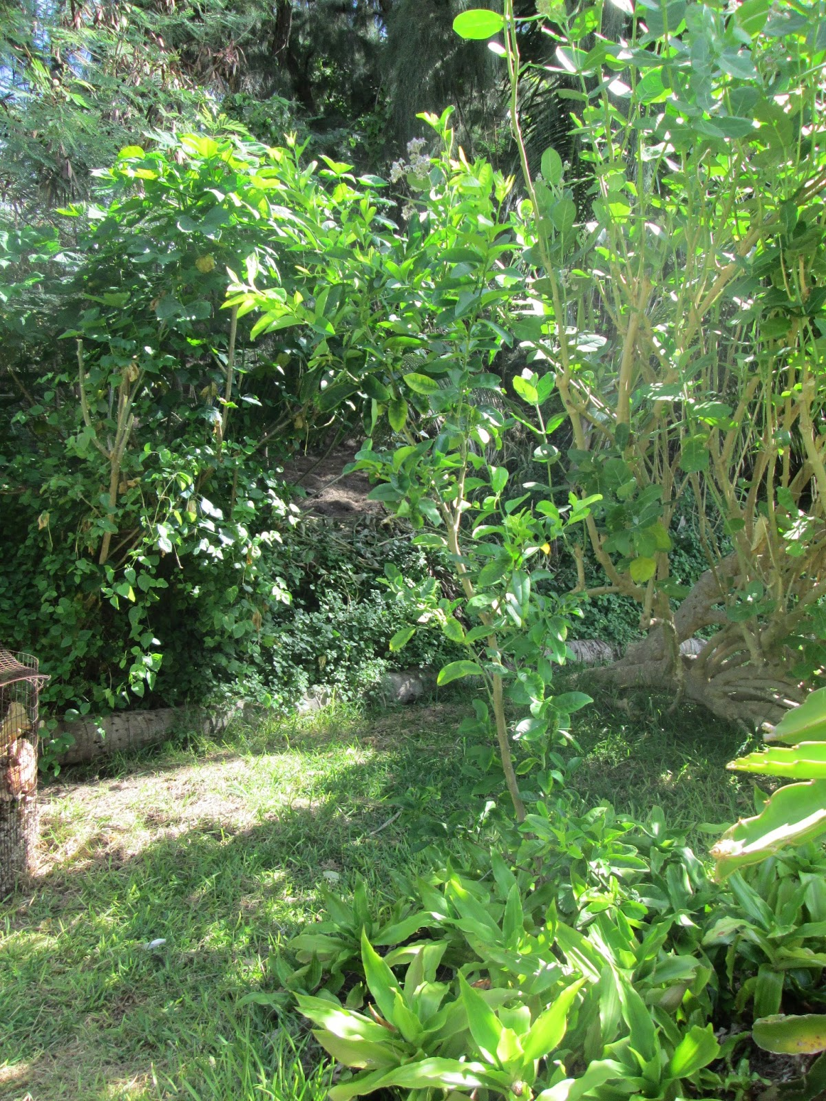 Garden Notes From Hawaii A Tale Of Two Lemon Trees Citrus X Meyeri