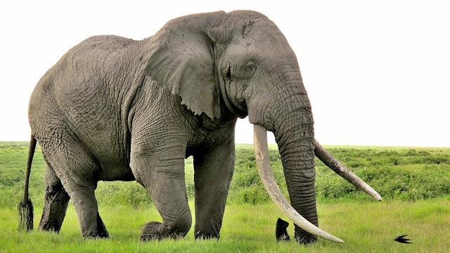 Rüyada fil görmek ne demek? rüyada file binmek, rüyada filin kovalaması, fil beslemek, yavru fil görmek, fil rüyası anlamları.