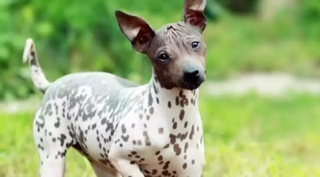 American Hairless Terrier Dog Breed Info: Price, Characteristics, Aggressiveness & Facts