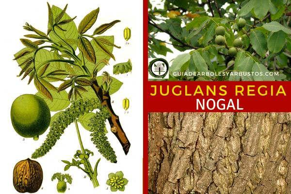 El nogal, Juglans regia, tambien conocido como Común: noguera, nogal común, nogal Europeo