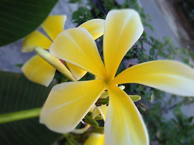kemboja kuning