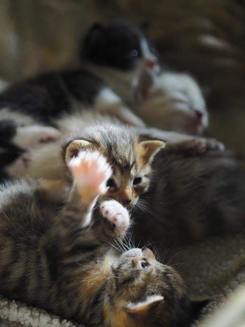 kittens 3 weken