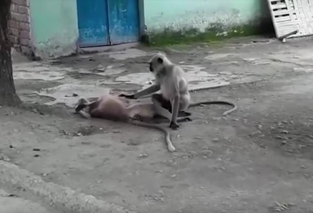 Video: Mono intenta revivir a su amigo