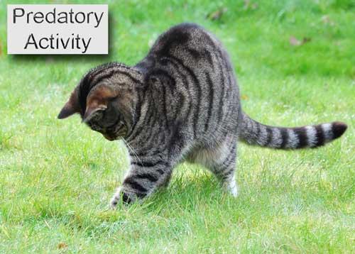 Feline predatory activity. Photo: Tambako the Jaguar